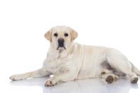 Labrador Retriever auf Hundeversicherungen24.com