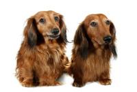 Langhaardackel auf Hundeversicherungen24.com