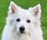 Großspitz auf Hundeversicherungen24.com