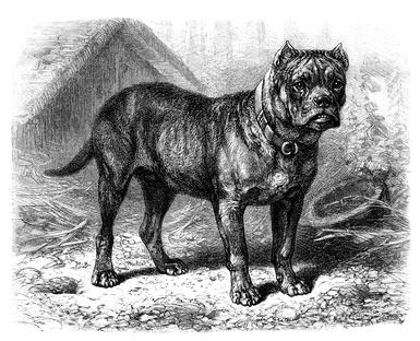 Molosser auf Hundeversicherungen24.com