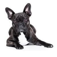 Mops auf Hundeversicherungen24.com