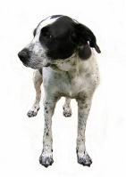 Großer Münsterländer auf Hundeversicherungen24.com