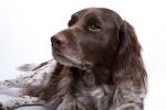 Kleiner Münsterländer auf Hundeversicherungen24.com