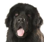 Neufundländer auf Hundeversicherungen24.com