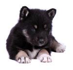 Ostsibirischer Laika auf Hundeversicherungen24.com