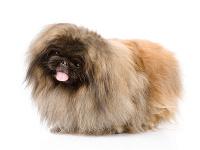 Pekinese auf Hundeversicherungen24.com