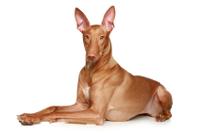 Pharaonenhund auf Hundeversicherungen24.com
