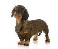 Rauhhaardackel auf Hundeversicherungen24.com