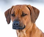 Rhodesian Ridgeback auf Hundeversicherungen24.com