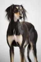 Saluki auf Hundeversicherungen24.com