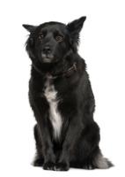 Belgischer Schäferhund auf Hundeversicherungen24.com