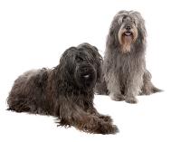 Katalanischer-Schäferhund auf Hundeversicherungen24.com