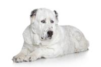 Zentral asiatischer Schäferhund auf Hundeversicherungen24.com