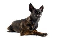 Holländischer Schäferhund auf Hundeversicherungen24.com