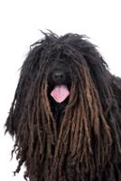 Puli auf Hundeversicherungen24.com