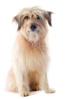 Pyrenäenschäferhund auf Hundeversicherungen24.com