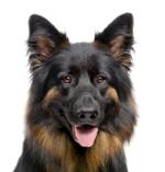 Schäferhund auf Hundeversicherungen24.com