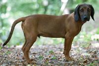 Schweißhund auf Hundeversicherungen24.com