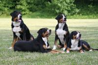 Schweizer Sennenhund auf Hundeversicherungen24.com