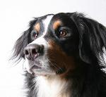 Sennenhund auf Hundeversicherungen24.com