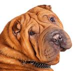 Shar-Pei auf Hundeversicherungen24.com