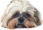 Shi-Tzu auf Hundeversicherungen24.com