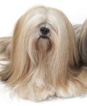 Tibet Terrier auf Hundeversicherungen24.com