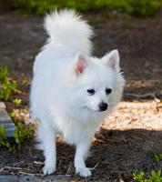 Volpino Italiano auf Hundeversicherungen24.com