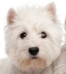 West Higland Terrier auf Hundeversicherungen24.com