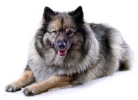 Wolfsspitz auf Hundeversicherungen24.com