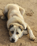 Zentralasiatischer Owtscharka auf Hundeversicherungen24.com